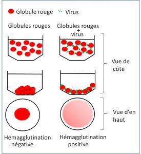 Test: les virus agglutinent les globules rouges